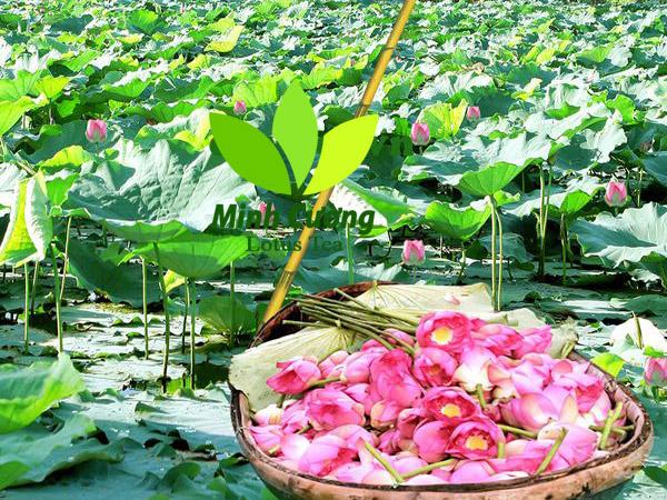 Sen bách diệp Hồ Tây - Sen được chọn để ướp trà sen