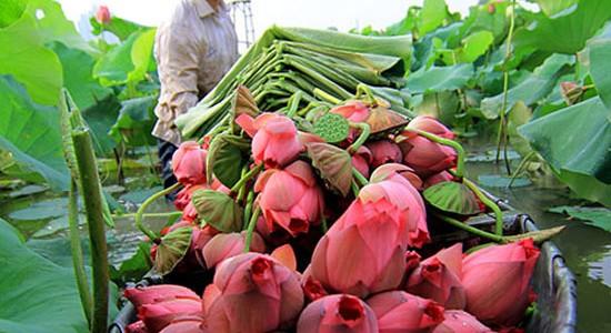 Tinh tế trà sen Hồ Tây Hà Nội