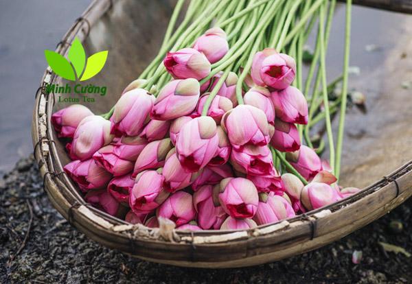 Trà sen Minh Cường tuyển chọn những bông hoa sen bách diệp Hồ Tây thơm nhất để ướp trà ướp búp sen đặc biệt