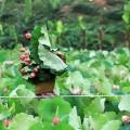 Hồ sen Hà Nội