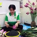 Cứ mùa sen về, Trà sen Minh Cường làm hàng chục ngàn bông trà ướp sen cho khách hàng