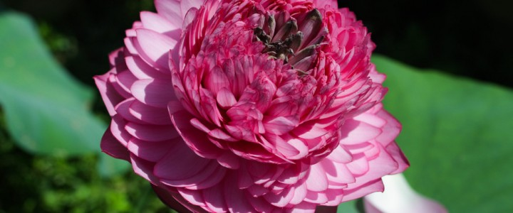Ấn tượng với hoa sen nghìn cánh